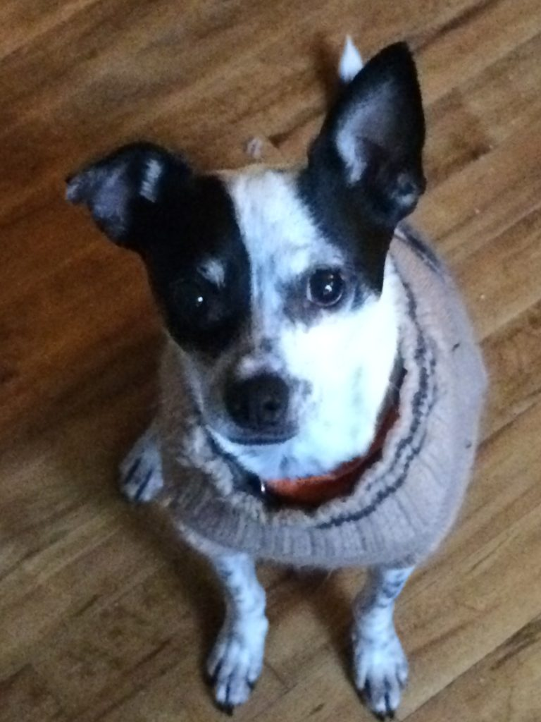 Kim's dog Alex. A black and white rat terrier in his collegiate sweater. One ear up, one ear down looking dapper.