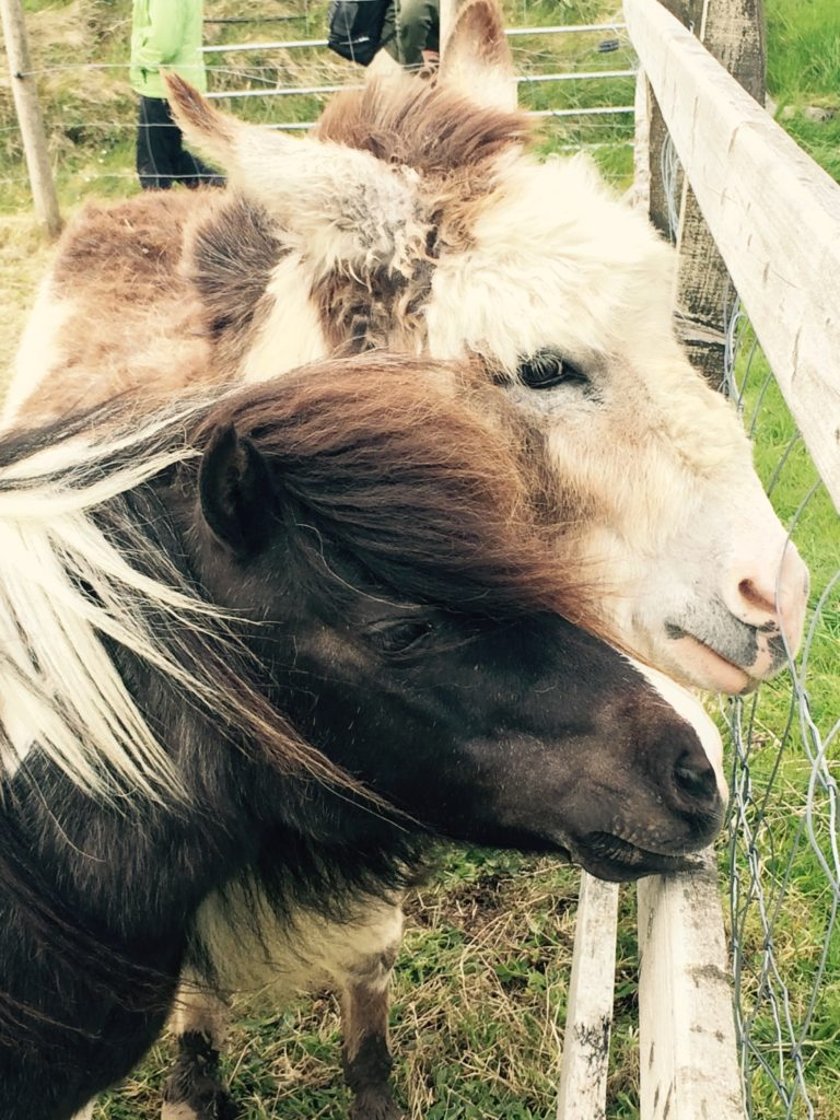 Two shaggy ponies in Ireland